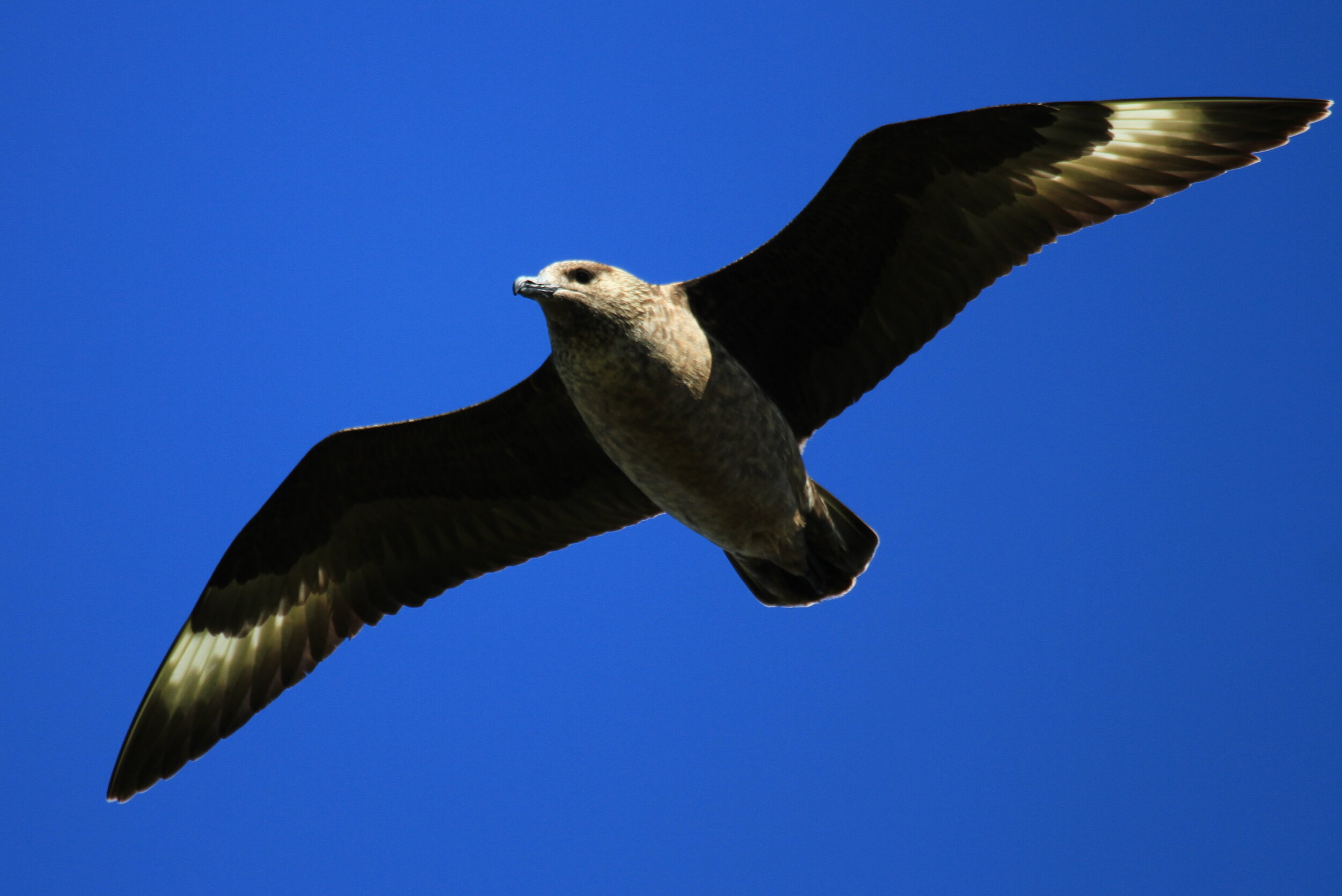 Great Skuas are summer visitors to our island.