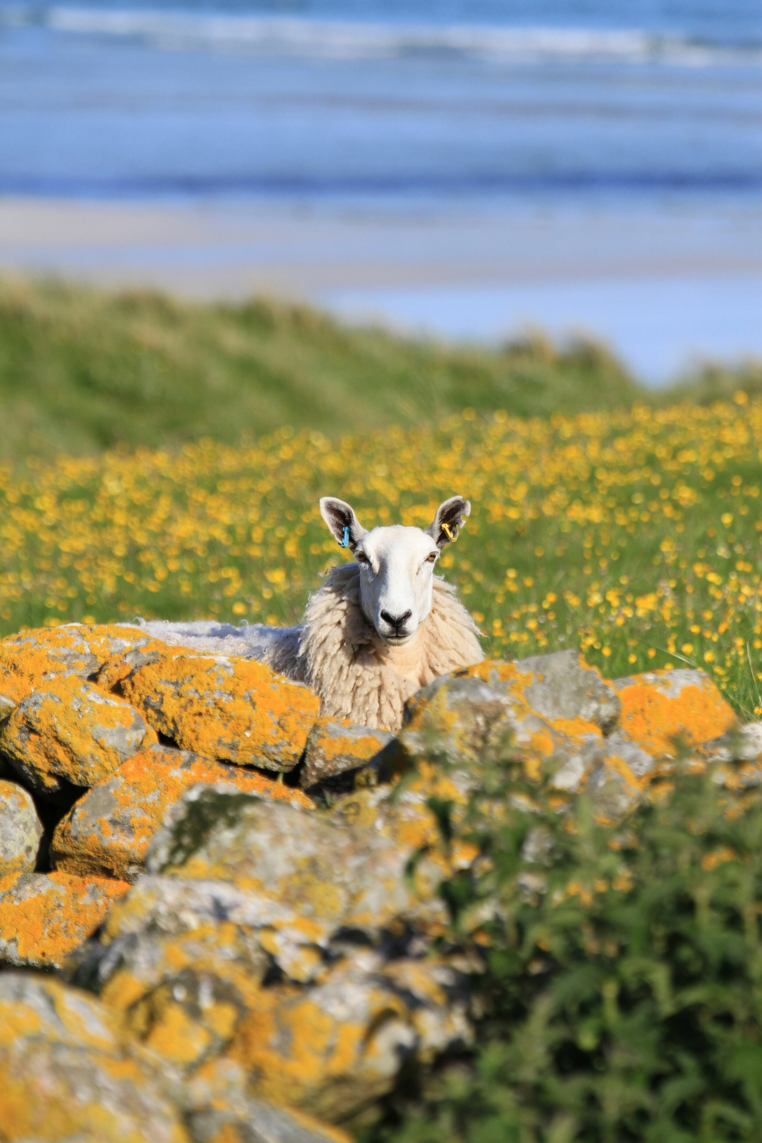 Tiree is known for producing high-quality store animals.
