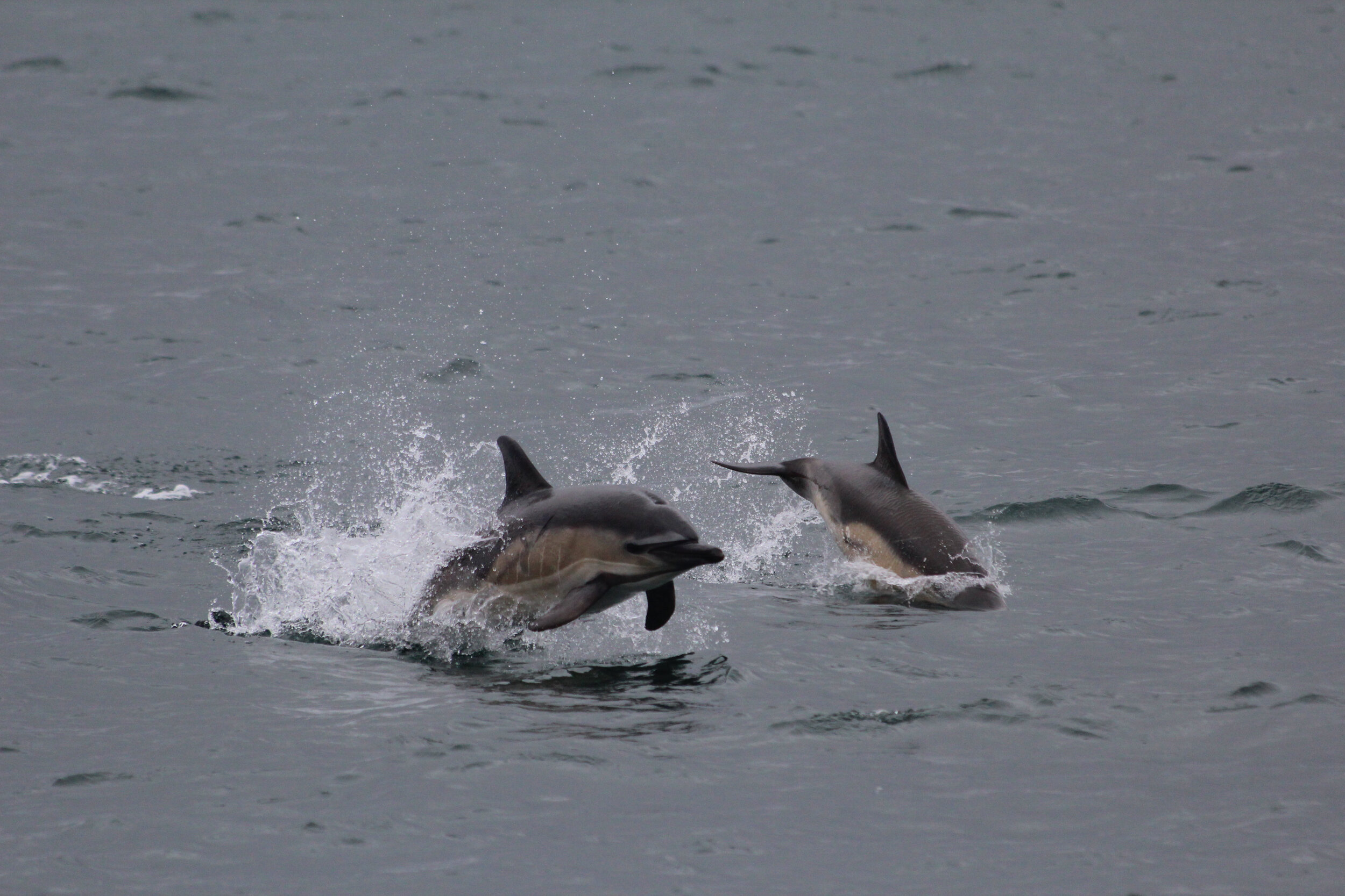 Dolphin in Gaelic (Leumadair) means 'one who leaps' - a perfect name for these acrobatic creatures.
