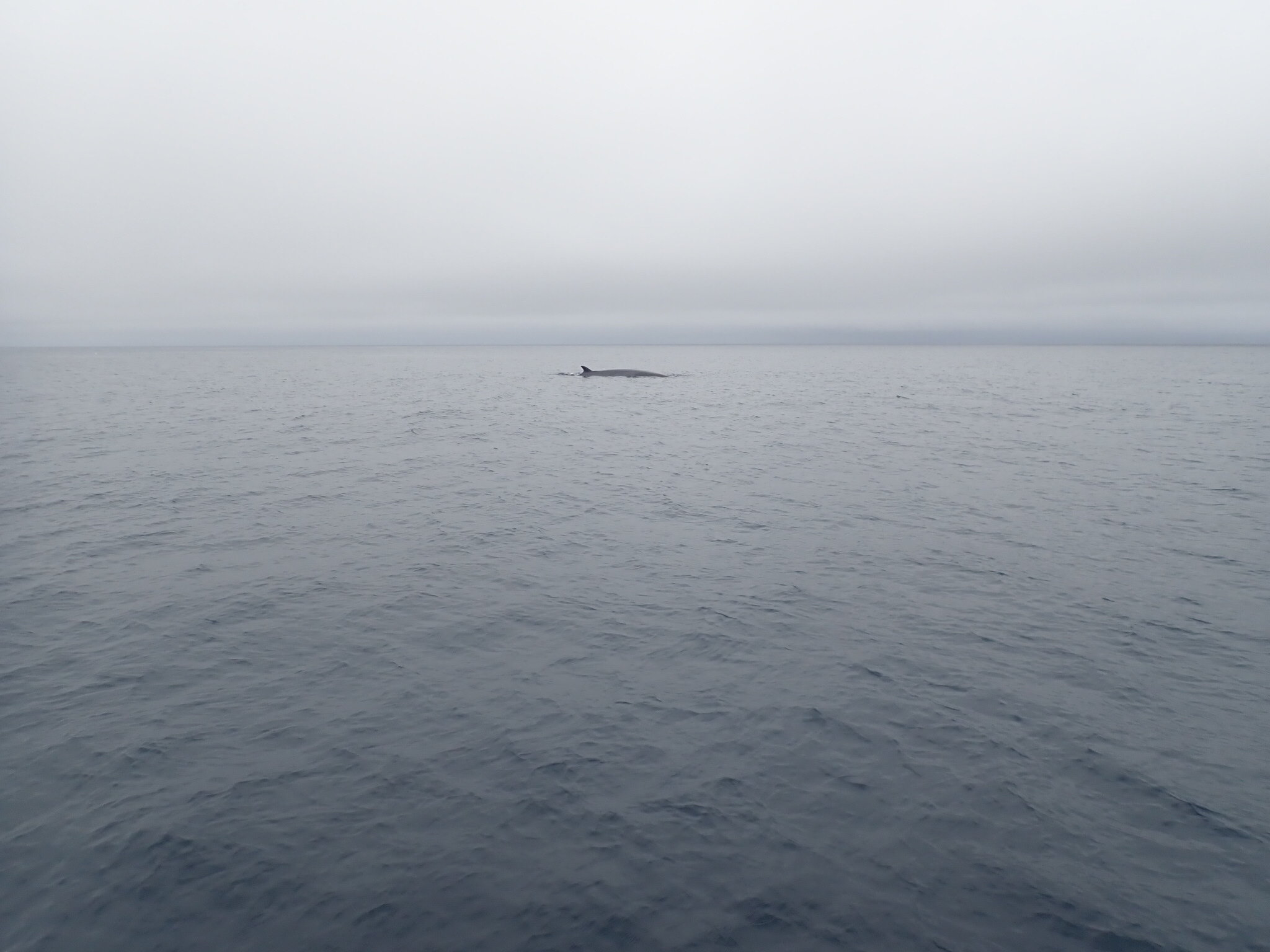 Minke whale in the mist