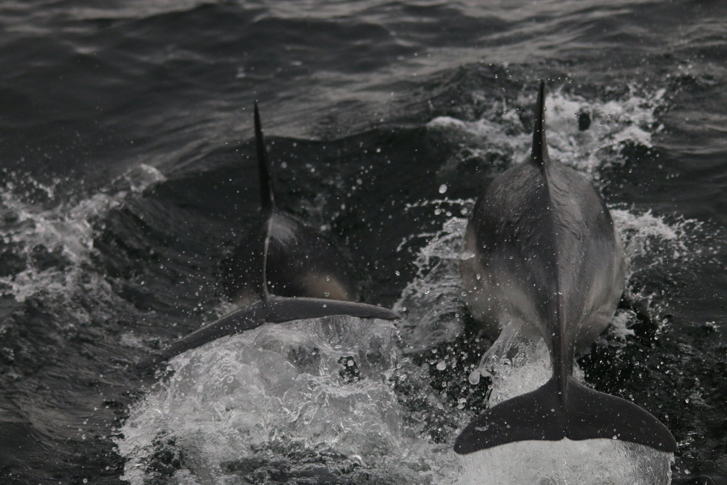 Two of the common dolphins encountered