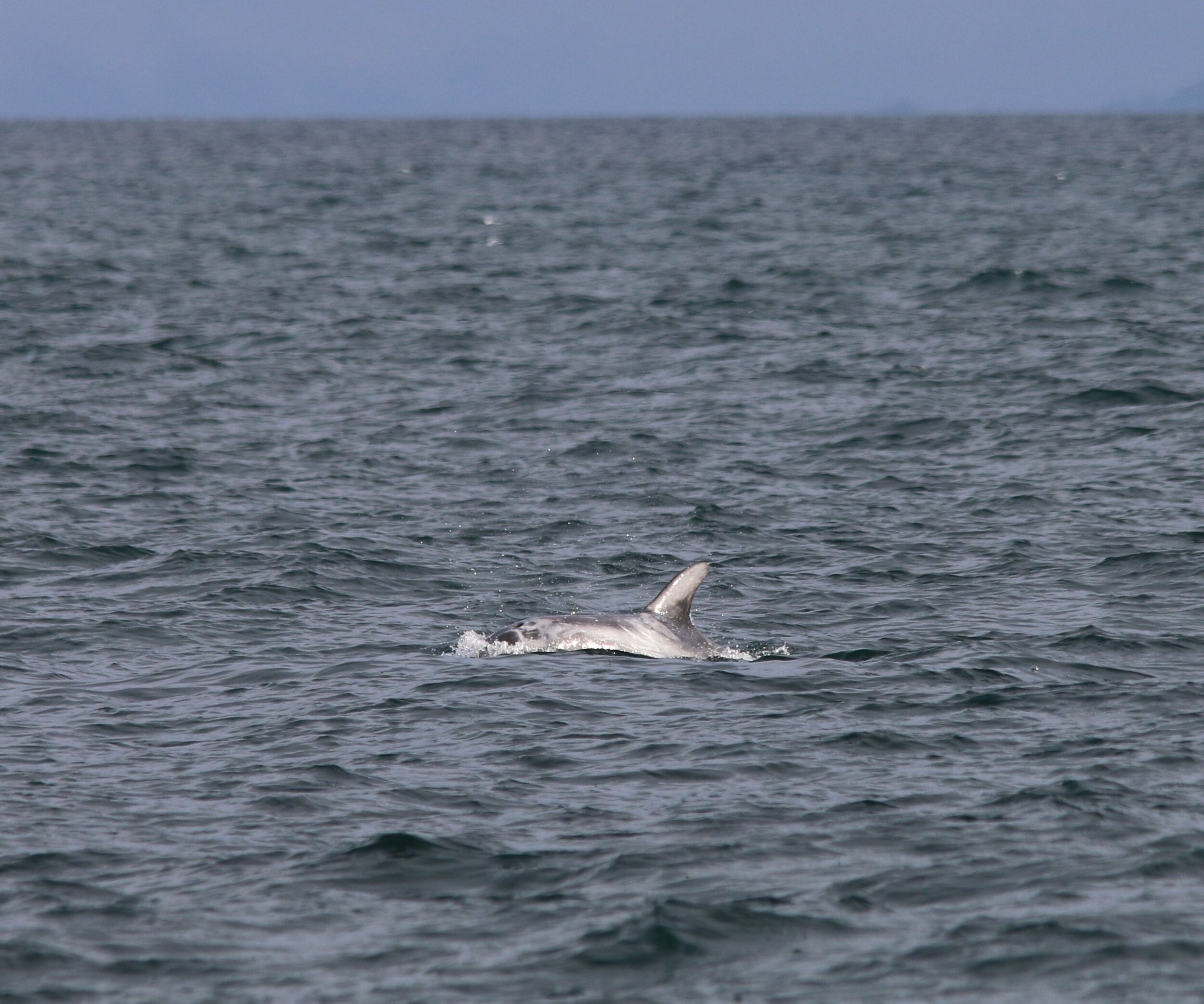 Risso's dolphin encountered at the Shiant Islands