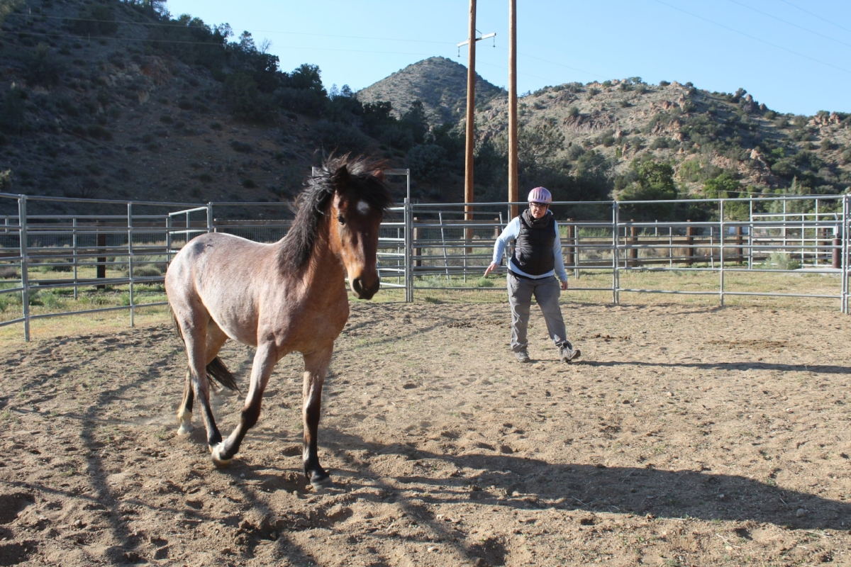 Marie is guiding a wild rescued mustang in a round pen using simple gestures.