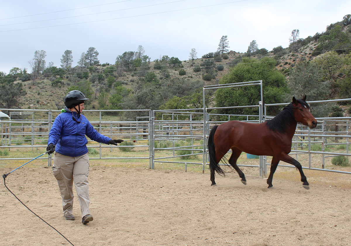 Genee is using a carrot stick and cues to guide this wild rescued mustang around a round pen. The horse and Genee watch each other's behavior to make sure they understand each other.