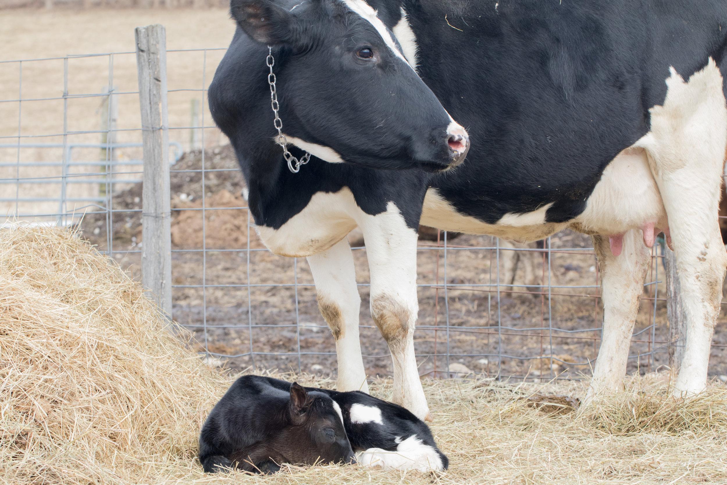 Cows 3-9-19-19.jpg