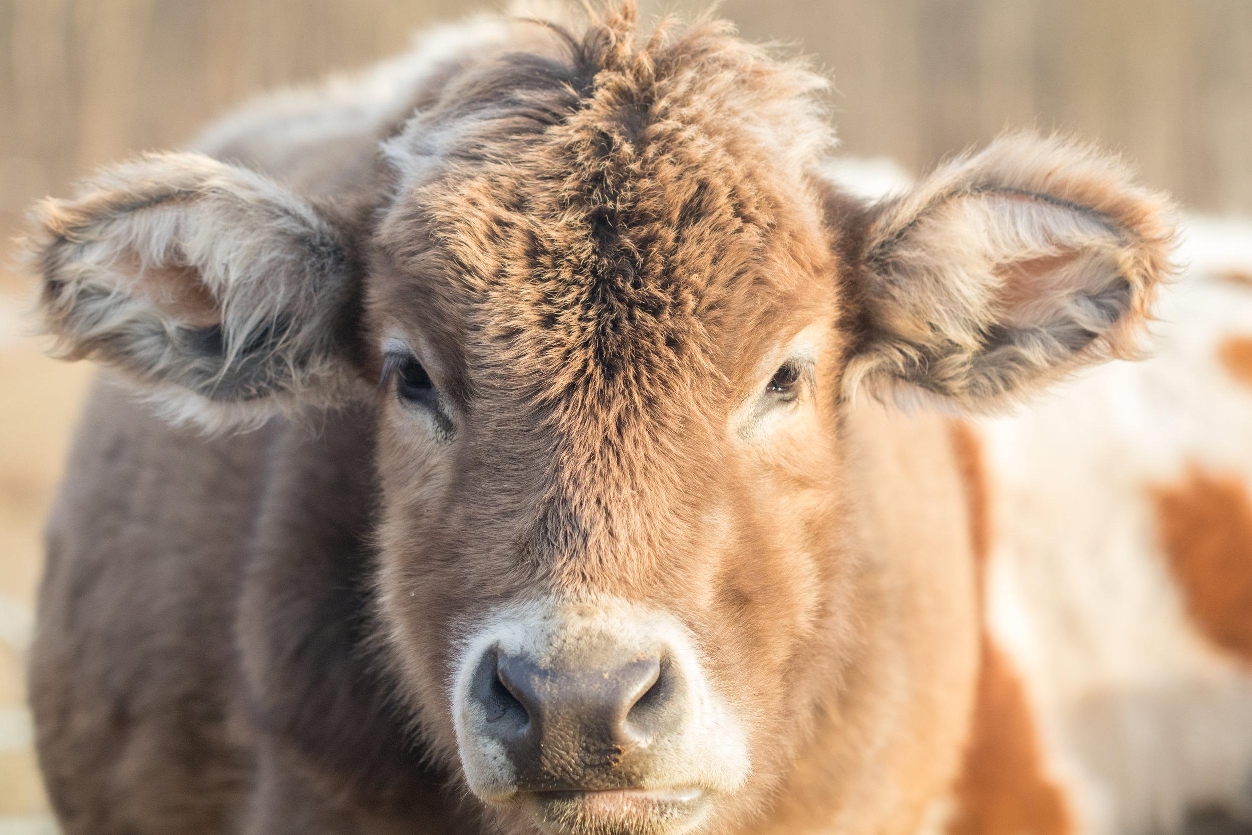 Cows 2-11-19-6.jpg