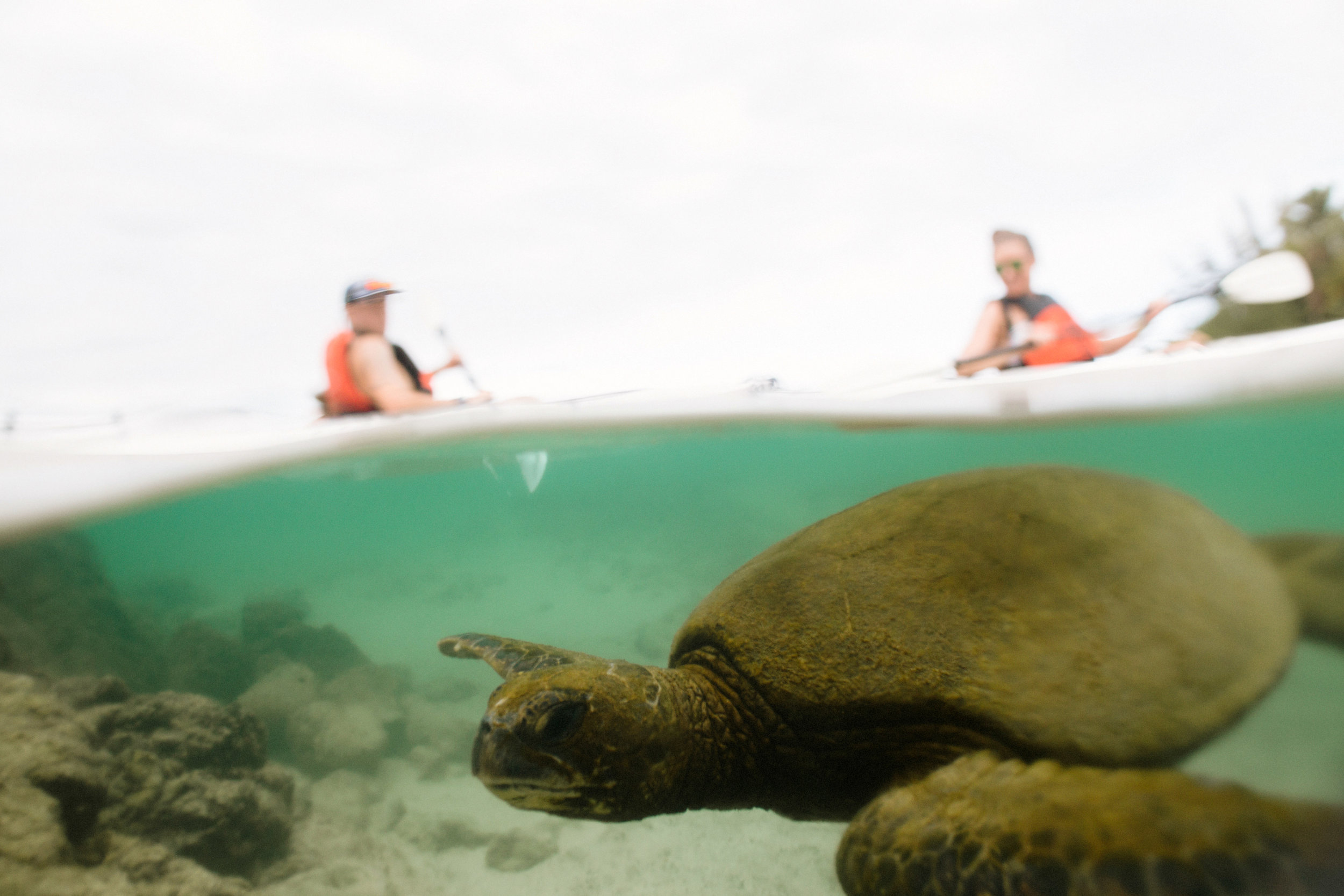 Turtle swimming under kayak