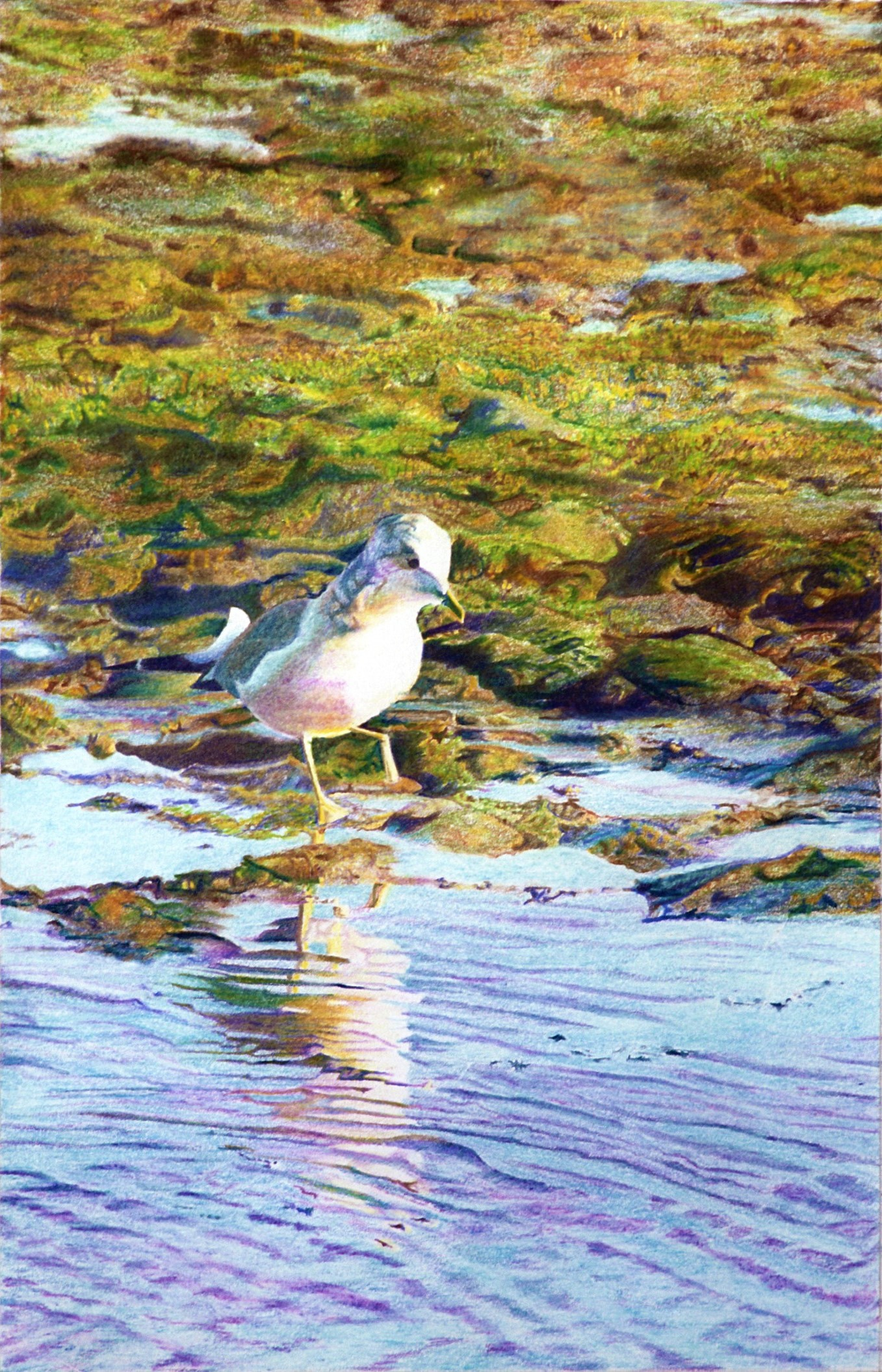 Purnam's Seagull  Colored pencil on paper. 10 x 15 in.
