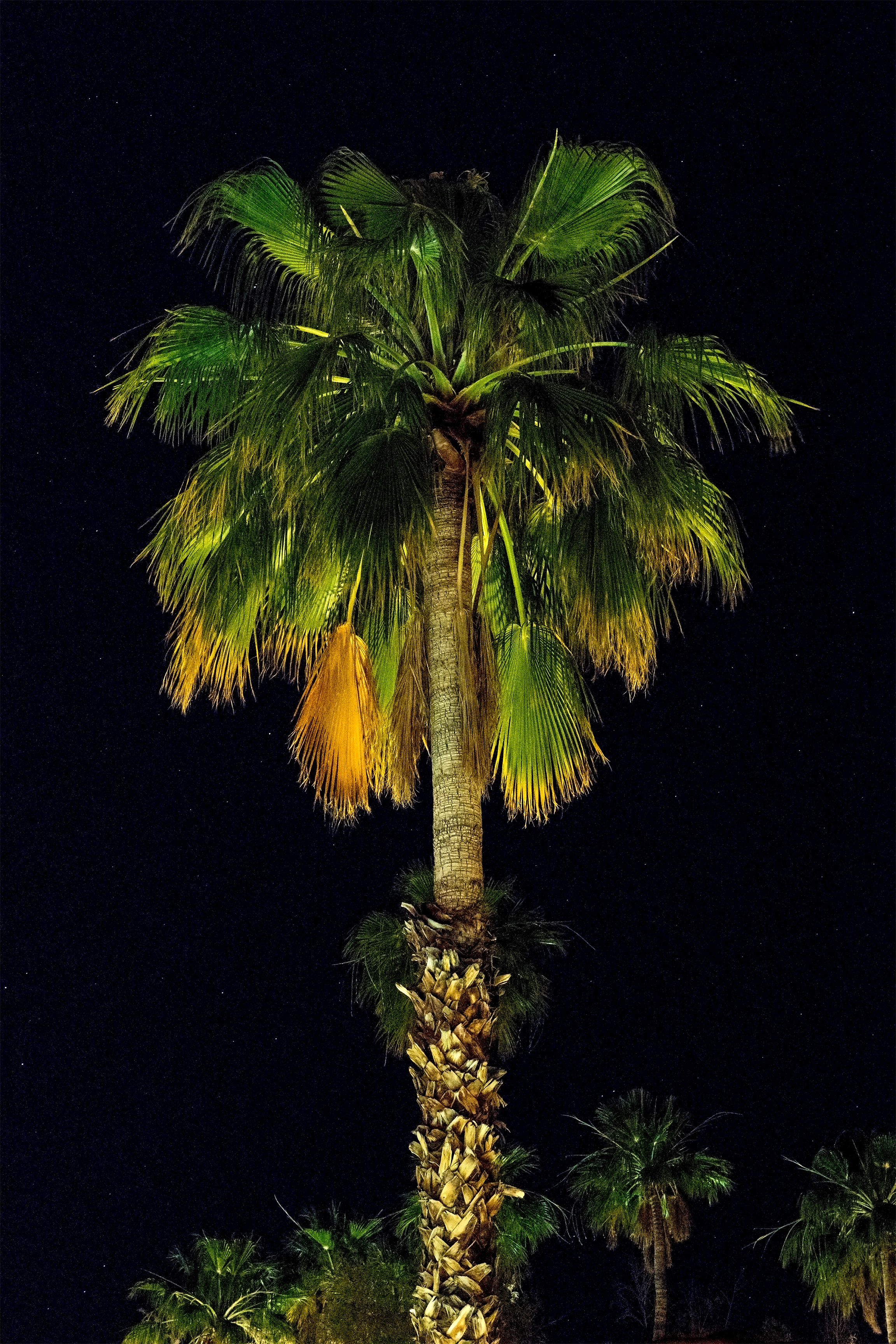 Night Palm