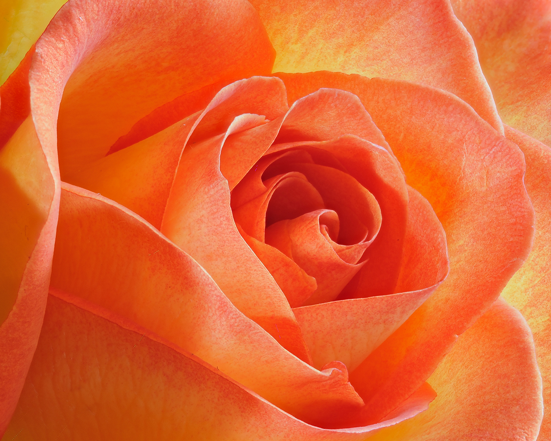 Flame Rose