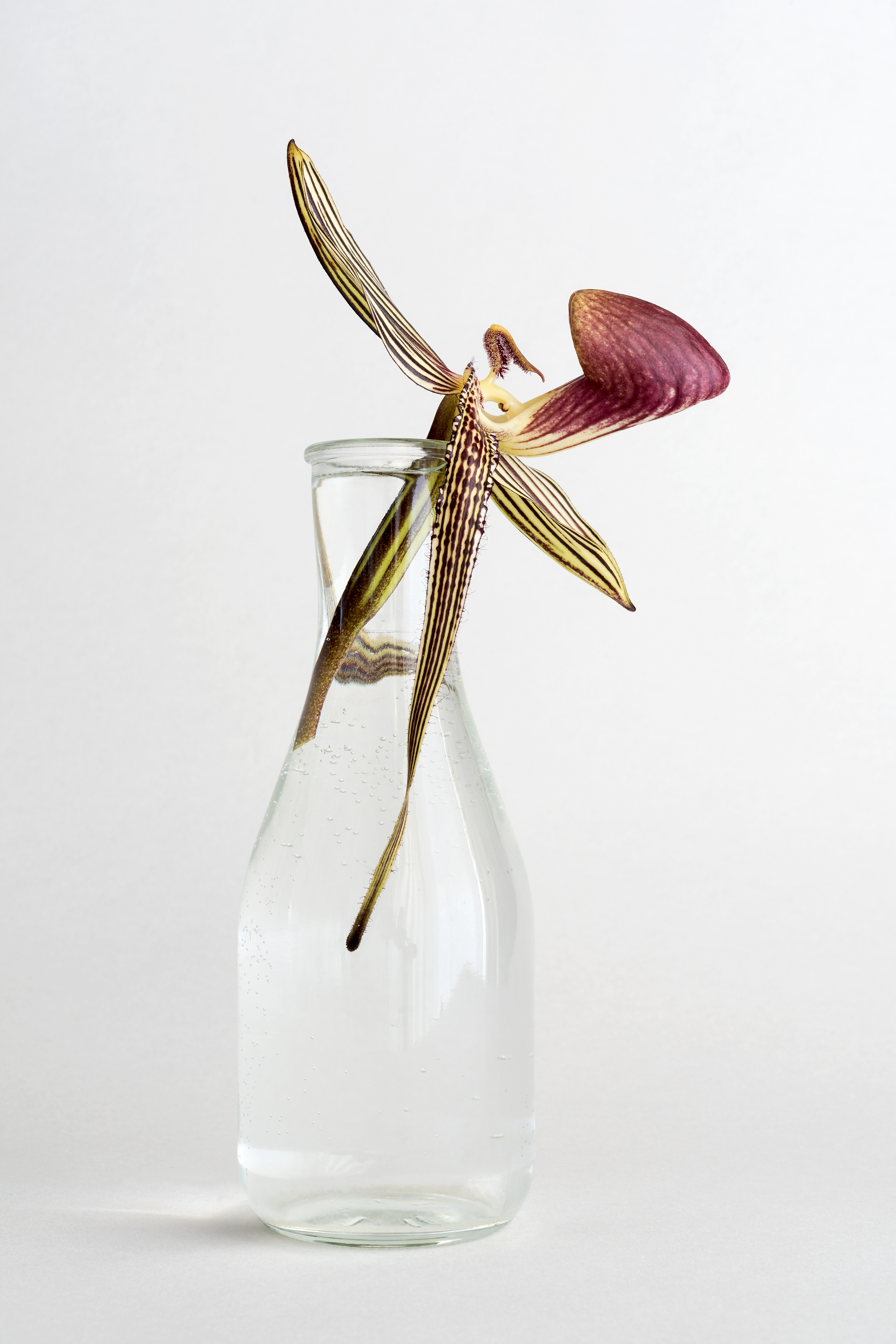 Striped Orchid in Glass