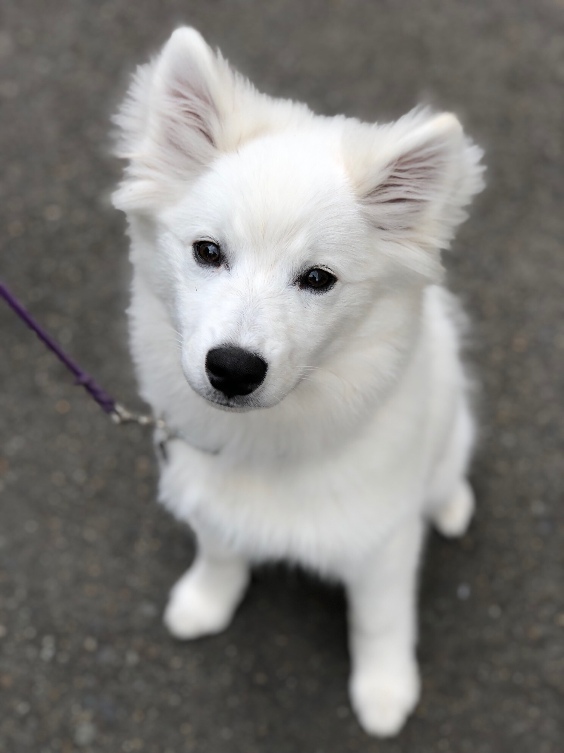 STAR Puppy, CGC Canine Good Citizen Prep and Test, Therapy Dog evaluations in Redmond, Bellevue, Sammamish, Kirkland, Medina and Issaquah, WA