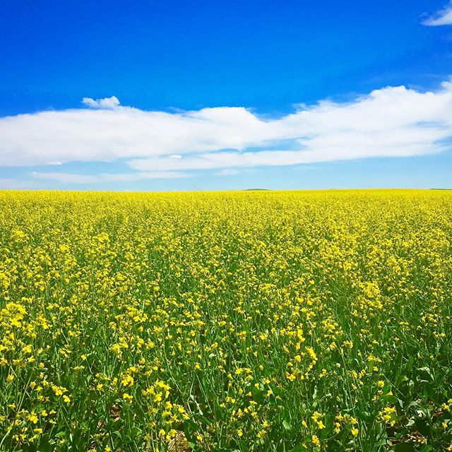 Ahhh! It's yellow-field season in Alberta! Go for a drive to #drumheller through the super cute town of Rosebud to soak in the canola sunshine ... it will make you happy 😃 . #capturecalgary #travelalberta #tourismdrumheller #dontforgettobreathe #getgonegang #kidbloggers
