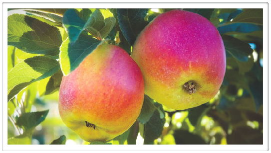 "Heirloom ""Winter Banana"" Apples by Harris, J. Retrieved from https://www.flickr.com/photos/pellucidity/280920857/ image cropped and used under CC BY-NCND 2.0 (https://creativecommons.org/licenses/by-nc-nd/2.0/legalcode)"
