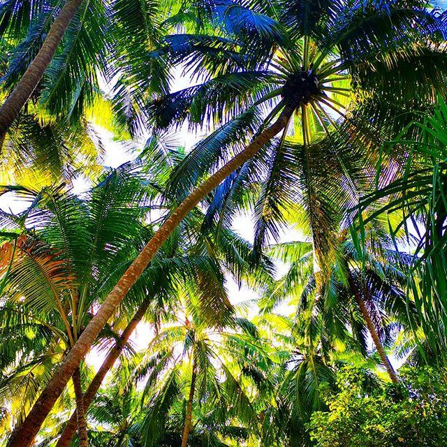 C I R C L E  O F  L I F E 💛 🌴  #tulamala #sun #thingstreesdo #coconut #naturalbeauty #maldives #maldivesislands #beautifulmaldives #anantarakihavah #heartchakra #green