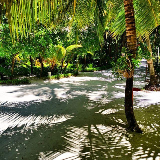 NATURAL CARPETS  Ahh, sweet procrastination!  Could not tear myself away from this beautiful light although there are Tulamalas to be knotted 😁 👣🌿 I also definitely recommend taking your time to ride a post-snorkel high🥰 💚🌴✨✨ #tulamala #naturalbeauty #trees #light #shadows #islandlife #islandliving #beautifuldestinations #beautiful #lovelife #maldivesislands #sunseandsong #anantarakihavah