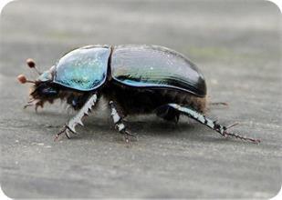 Violet Dor beetle ( Geotrupes mutator)