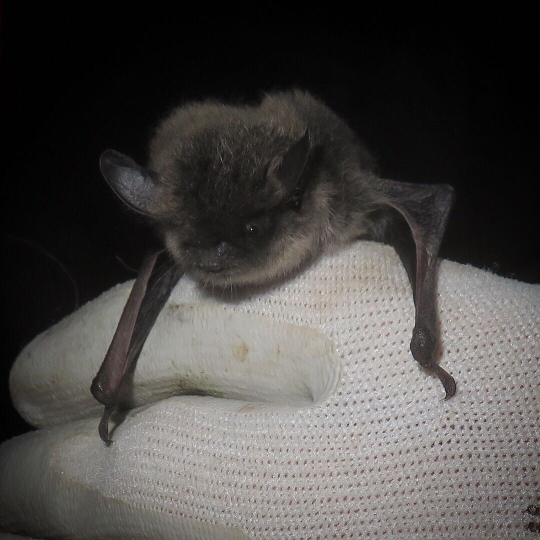 Whiskered Bat at Knepp - photo by Ryan Greaves