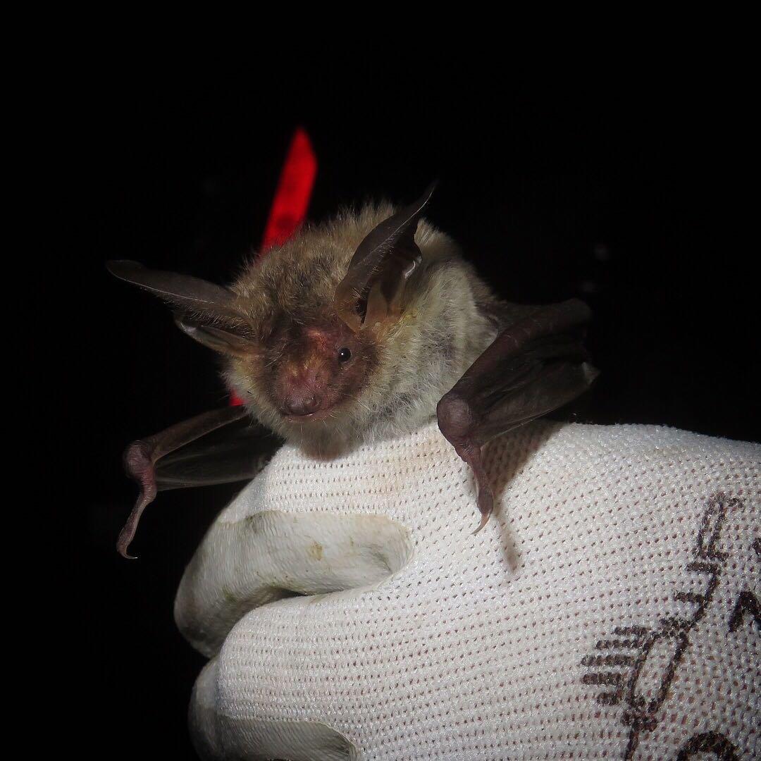 Bechstein's Bat at Knepp - photo by Ryan Greaves