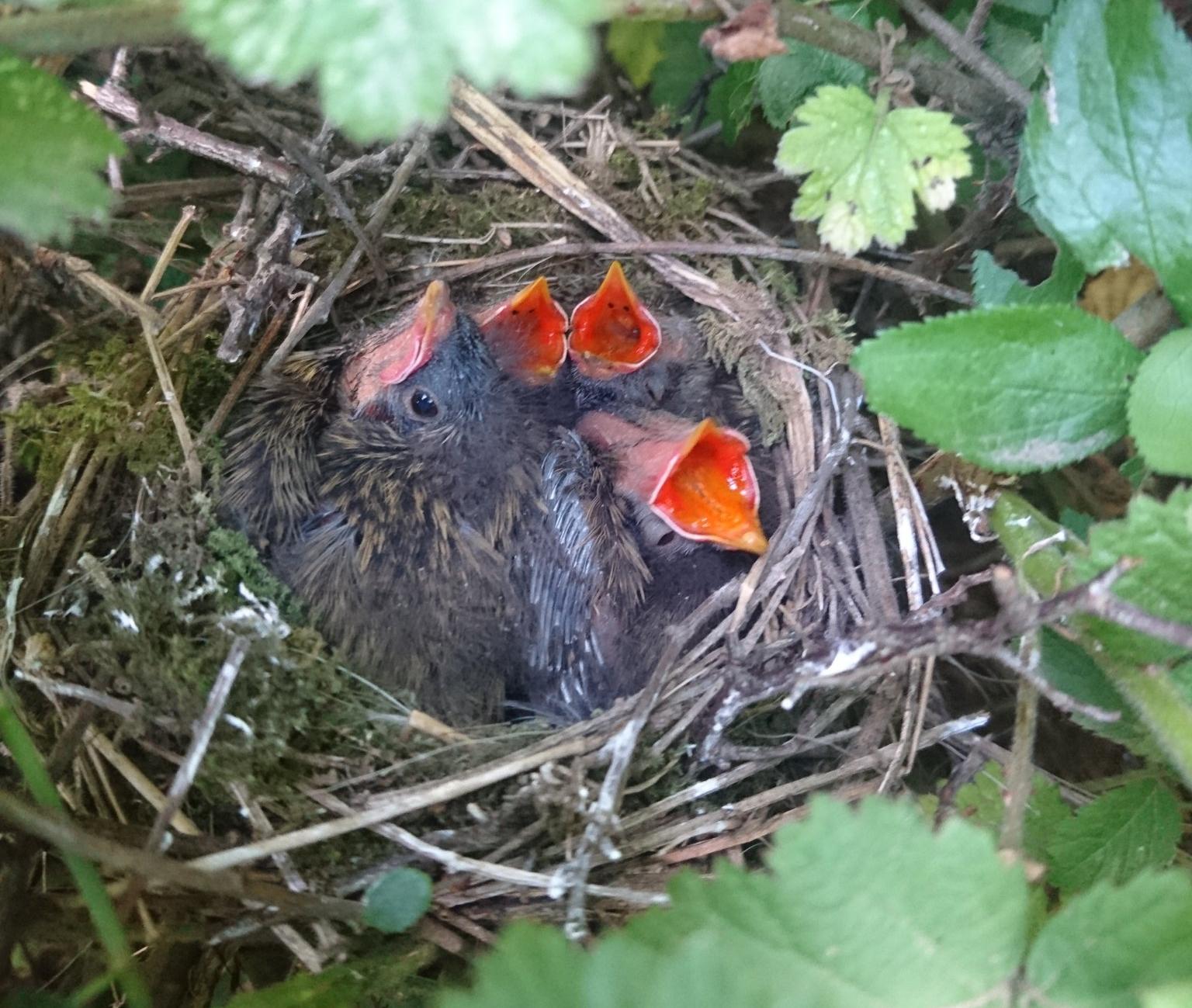 Dunnock chicks in nest.jpg