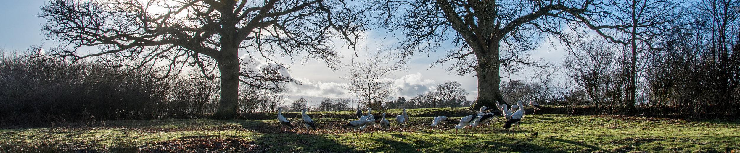 White Storks in the Knepp pen.jpg