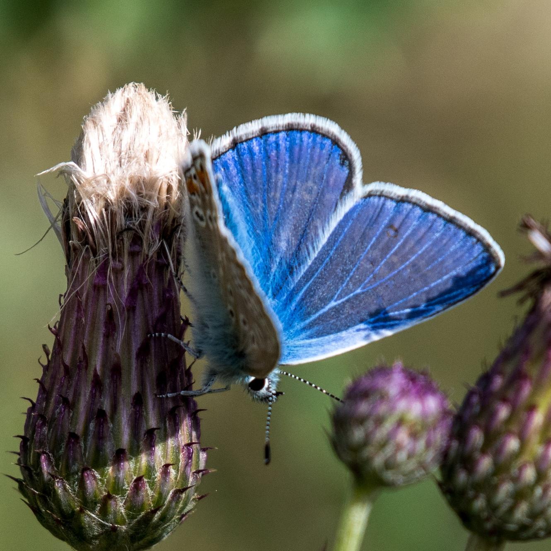 Copmmon blue butterfly.jpg