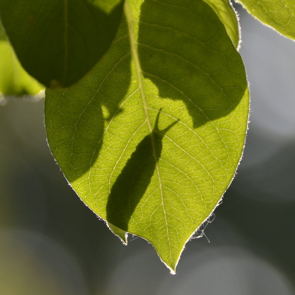 Purple Emperor caterpillar shadow on Sallow leaf.JPG
