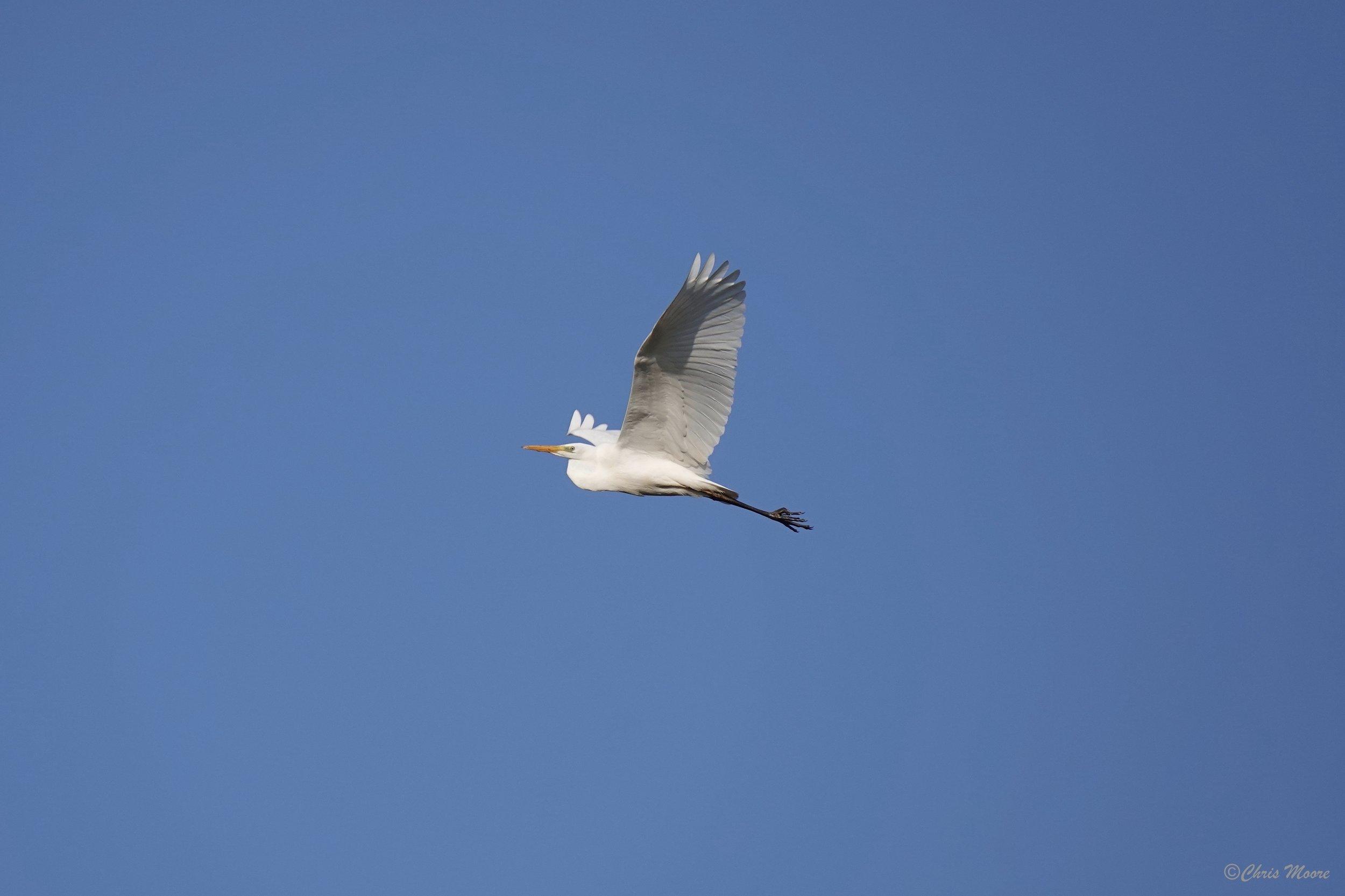 Great White Egret 06Feb2018.jpg