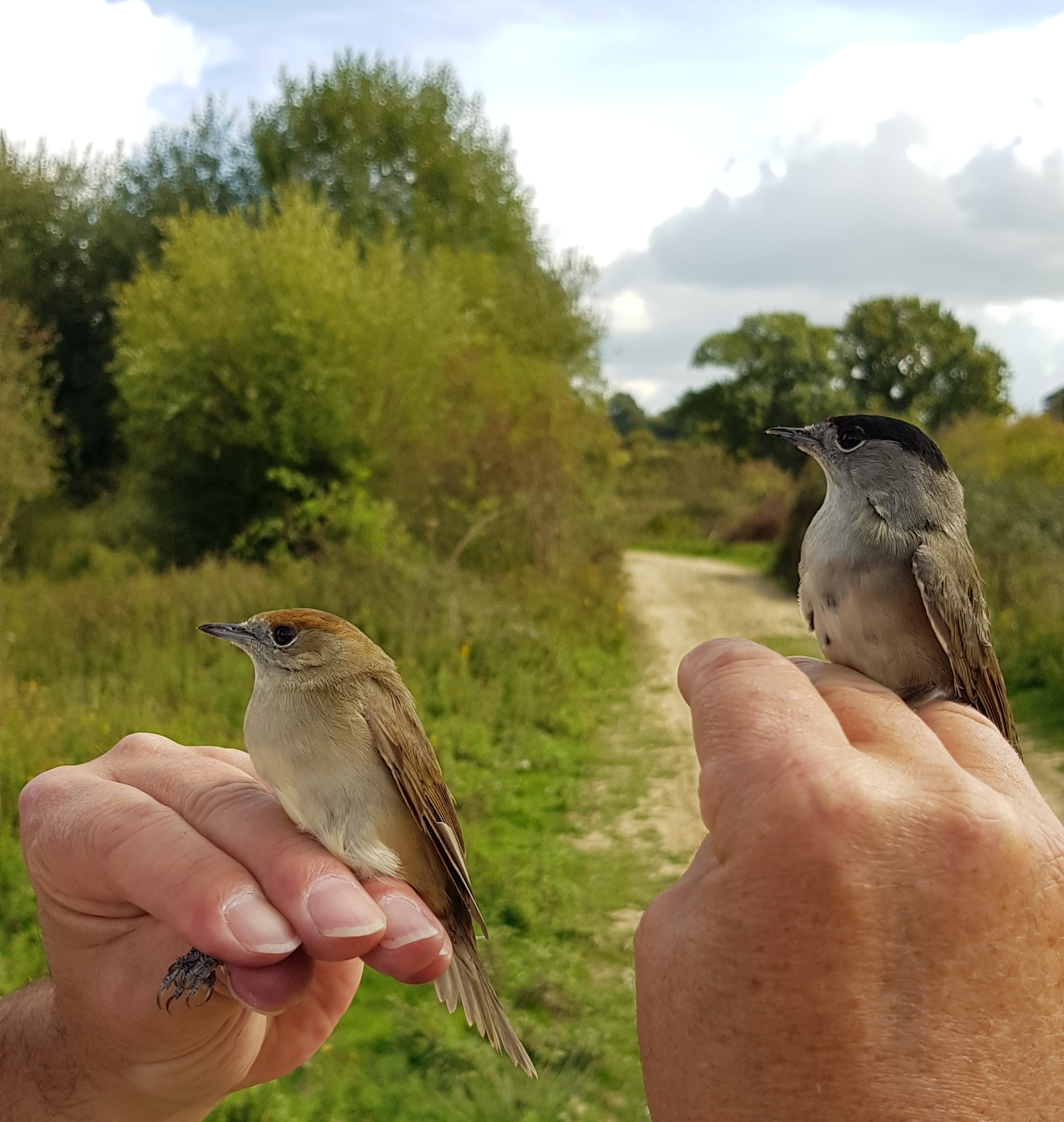 Blackcaps (female on left and male on right)