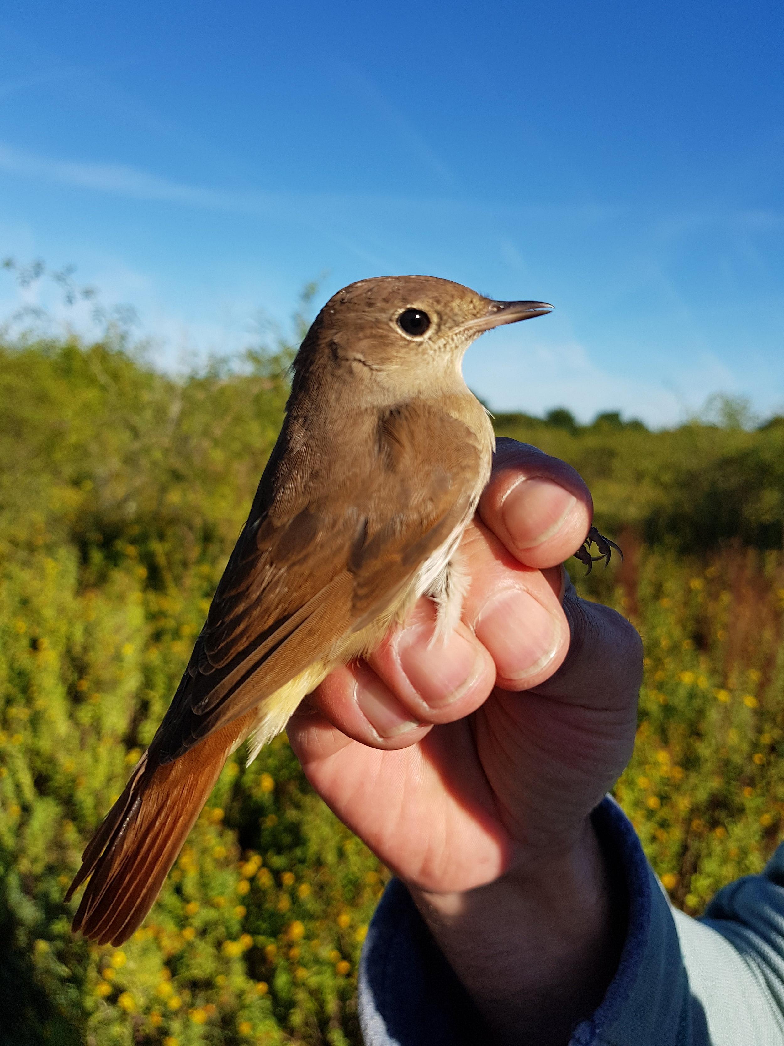 Nightingale juvenile