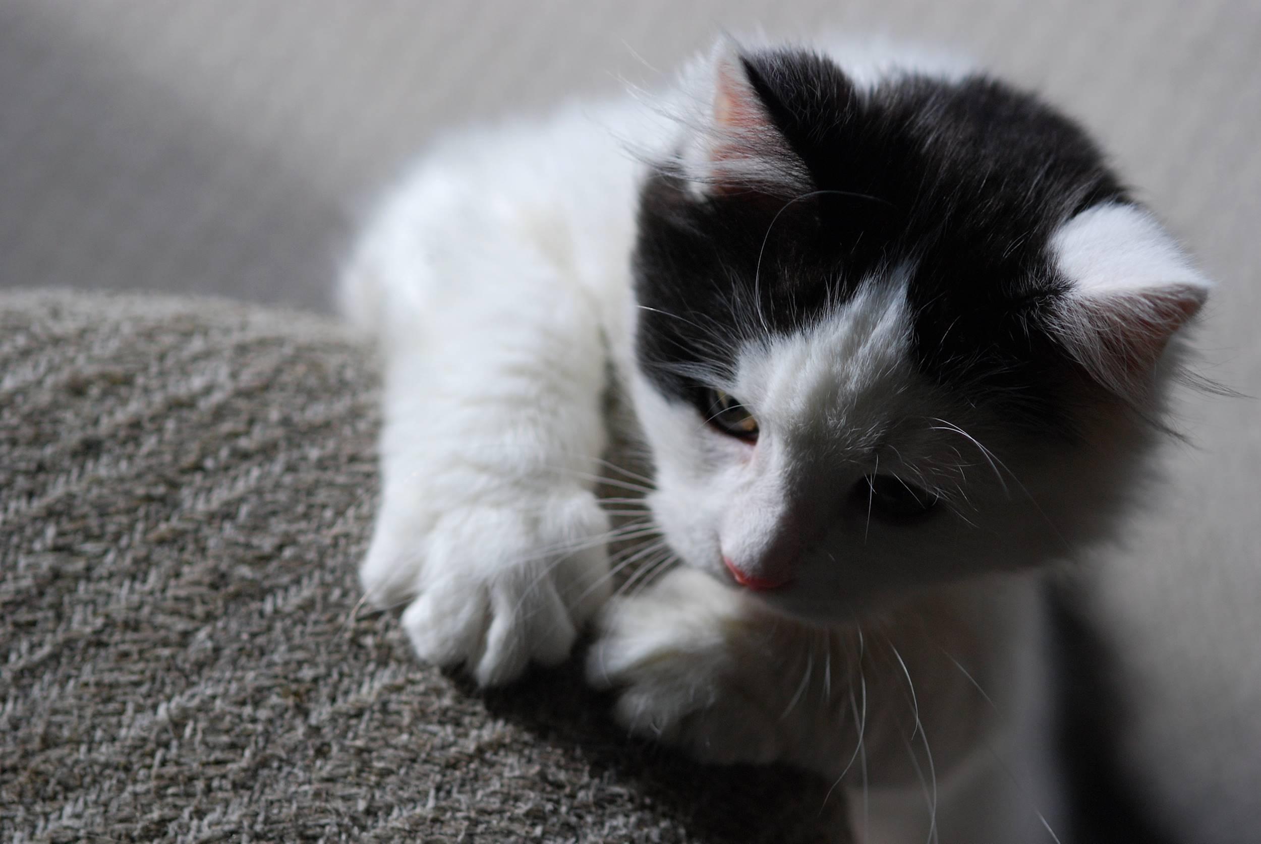 kitten playing ready to pounce