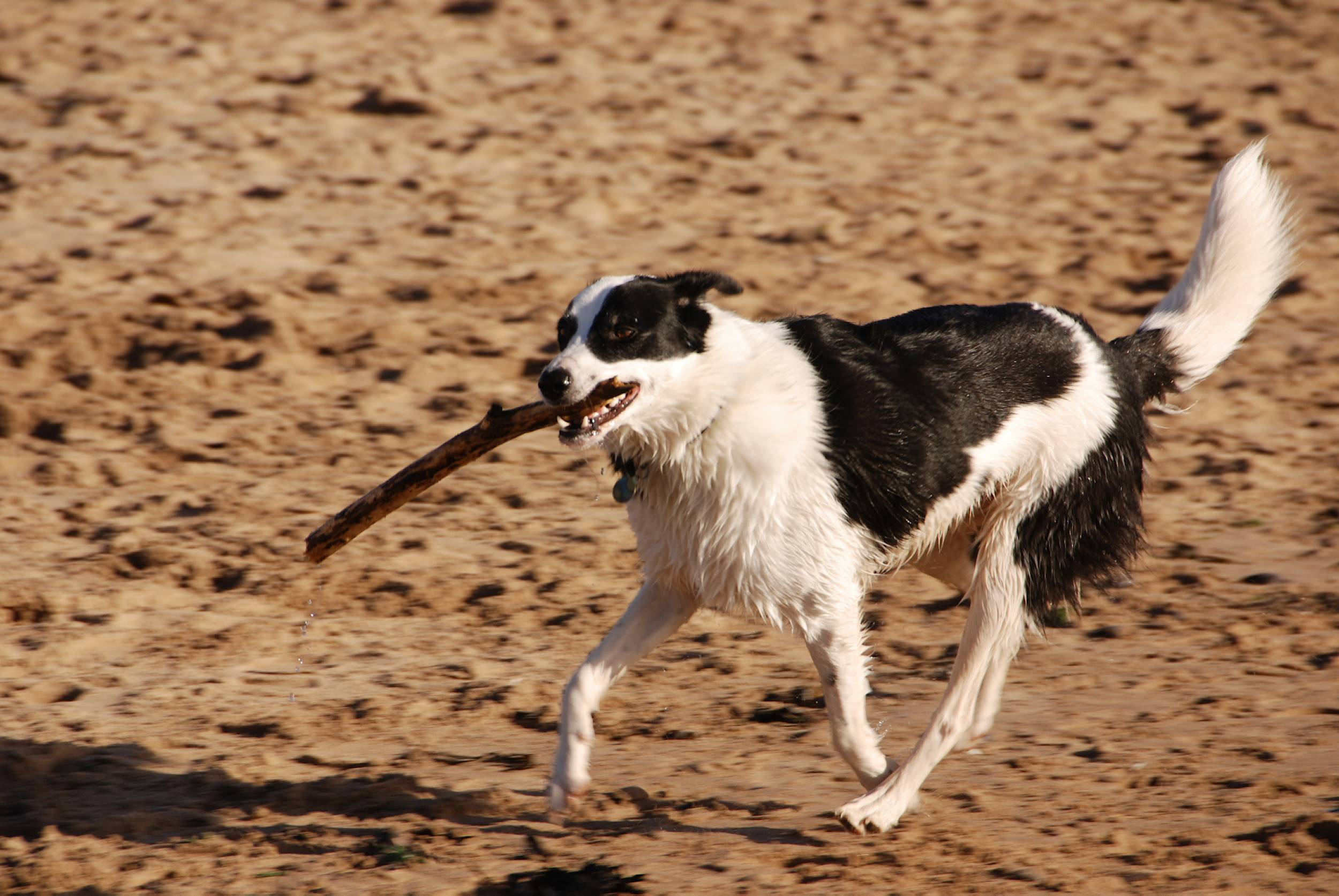 dog running on beach with stick in mouth