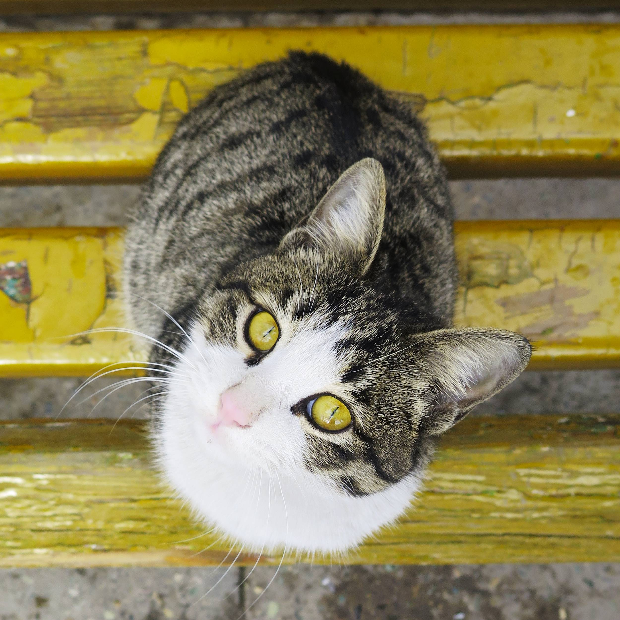 portrait photo of a cat with bright eyes sitting on a bench looking at the camera