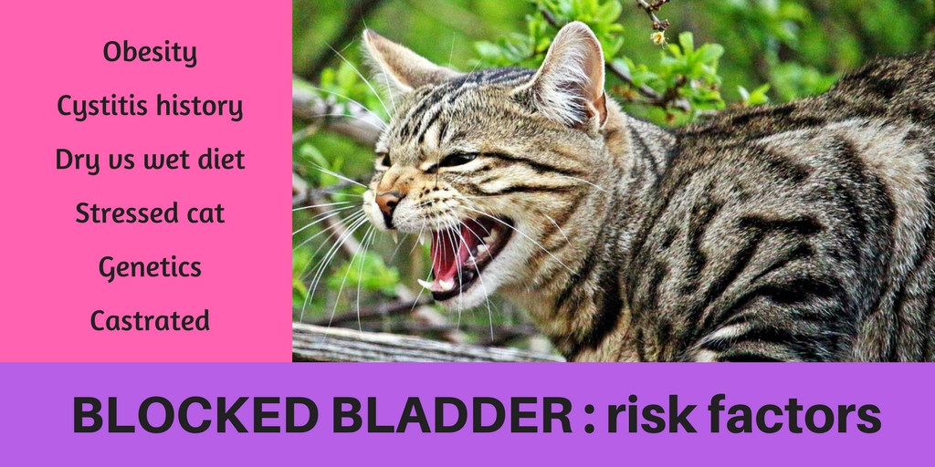 risk factors for blocked bladder in cats as a reason for why they cant pee