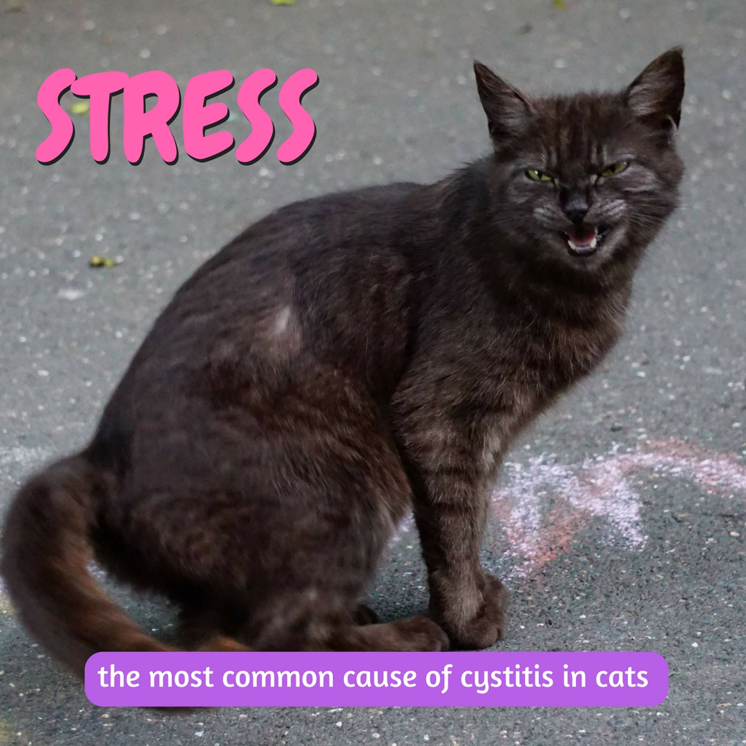 stress is the most common cause of cystitis in cats