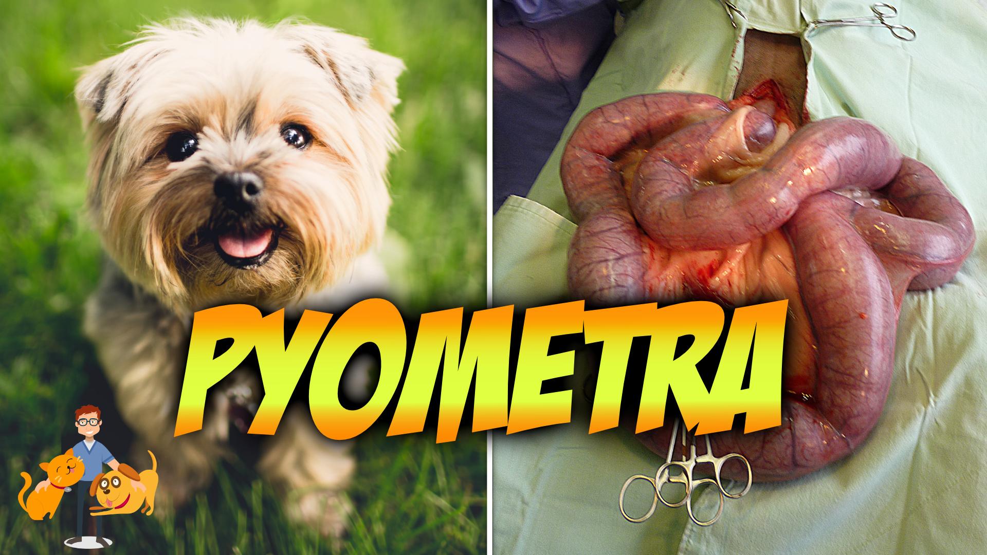 pyometra, a true dog emergency