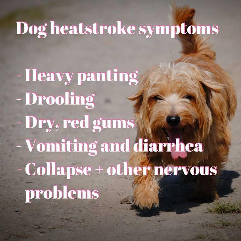 learn all about the symptoms of heatstroke in dogs