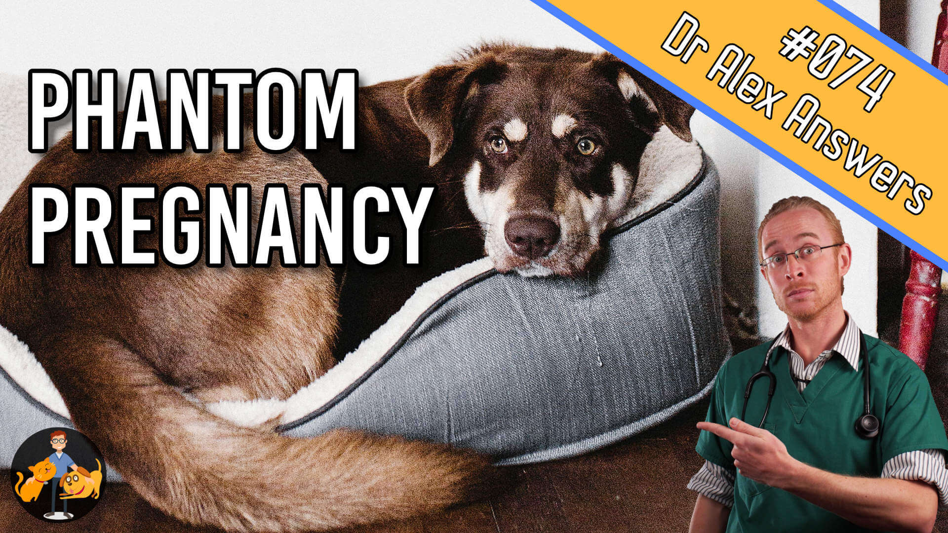 learn about phantom pregnancy in dogs