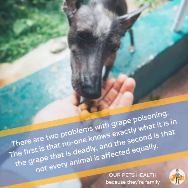 the problem with grape and raisin poisoning is that not all dogs are affected equally and the reason for toxicity is unknown