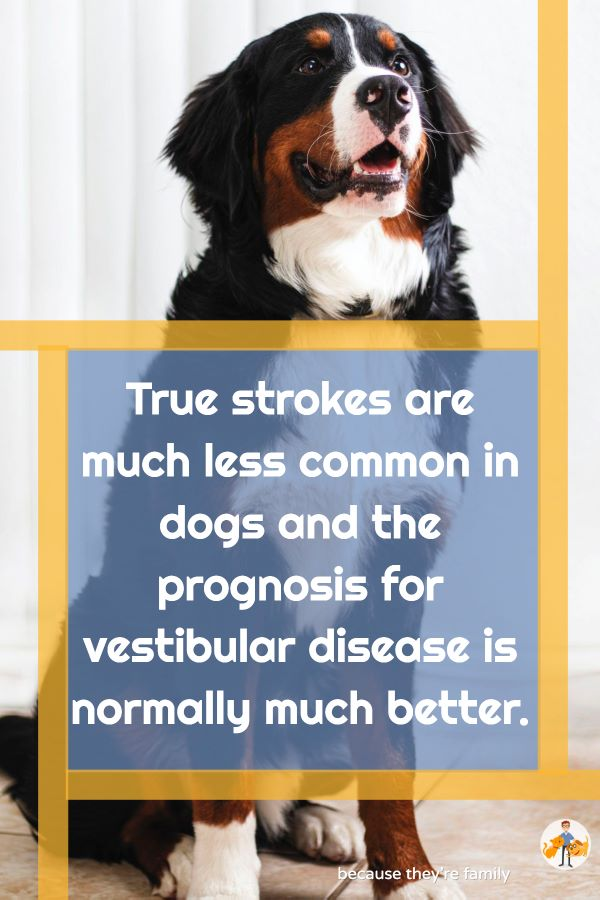 true strokes are much less common in dogs and the prognosis for vestibular disease is normally much better
