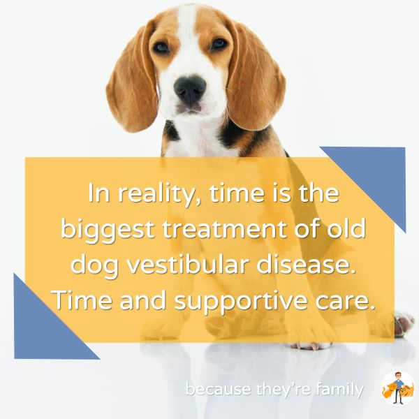 in reality, time is the biggest treatment of old dog vestibular disease. Time and supportive care