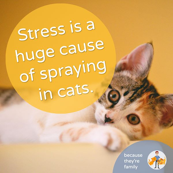 stress can cause spraying in cats and is one of the main ways we can stop a cat from peeing everywhere