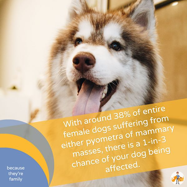 With around 38% of entire female dogs suffering from either pyometra or mammary masses, there is a 1-in-3 chance of your dog being affected