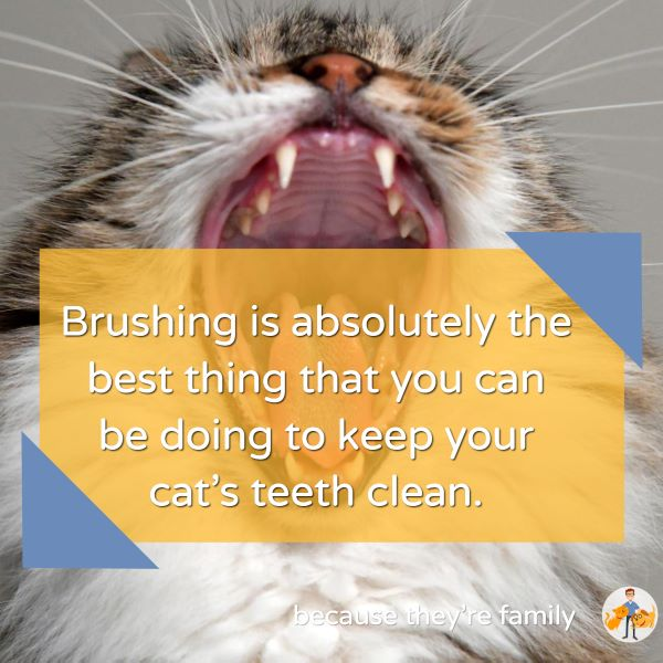 brushing is absolutely the best thing that you can be doing to keep your cat's teeth clean