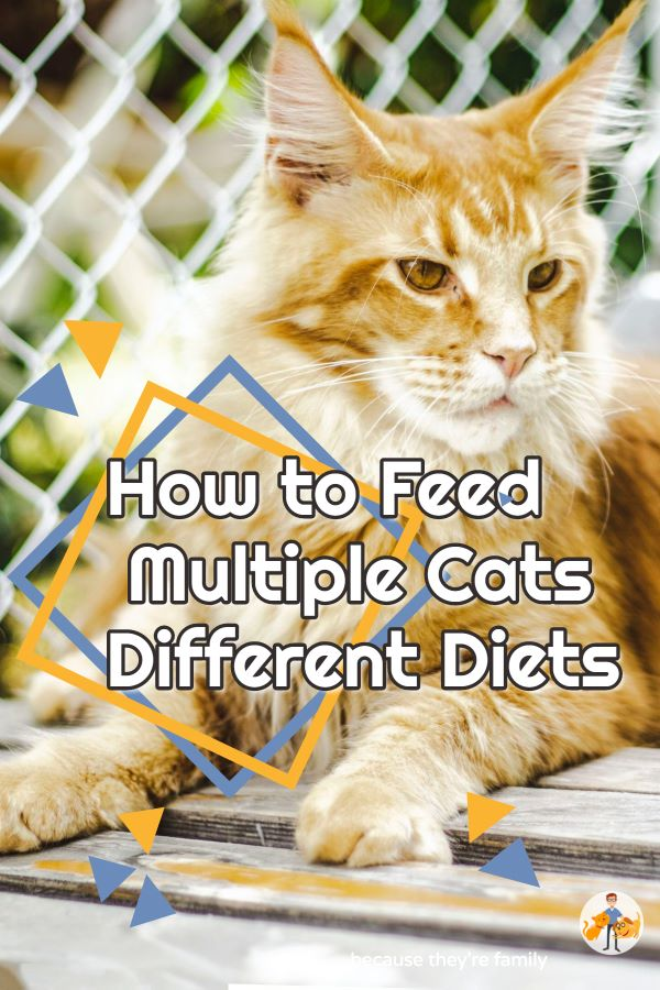 How to Feed Multiple Cats Different Diets
