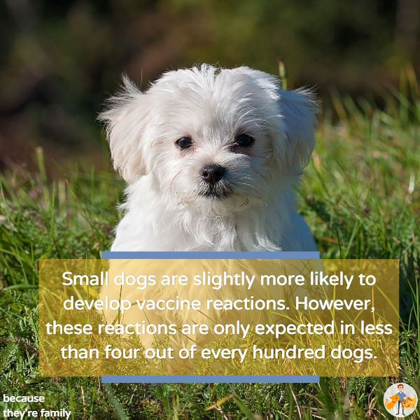 small dogs are slightly more likely to develop vaccine reactions. However, these reactions are only expected in less than 4 out of every 100 dogs