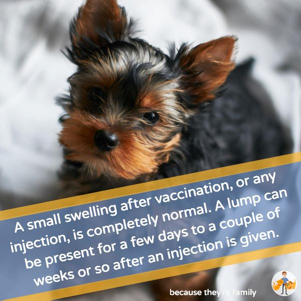 a small swelling after vaccination, or any injection, is completely normal. A lump can be present for a few days to a couple of weeks