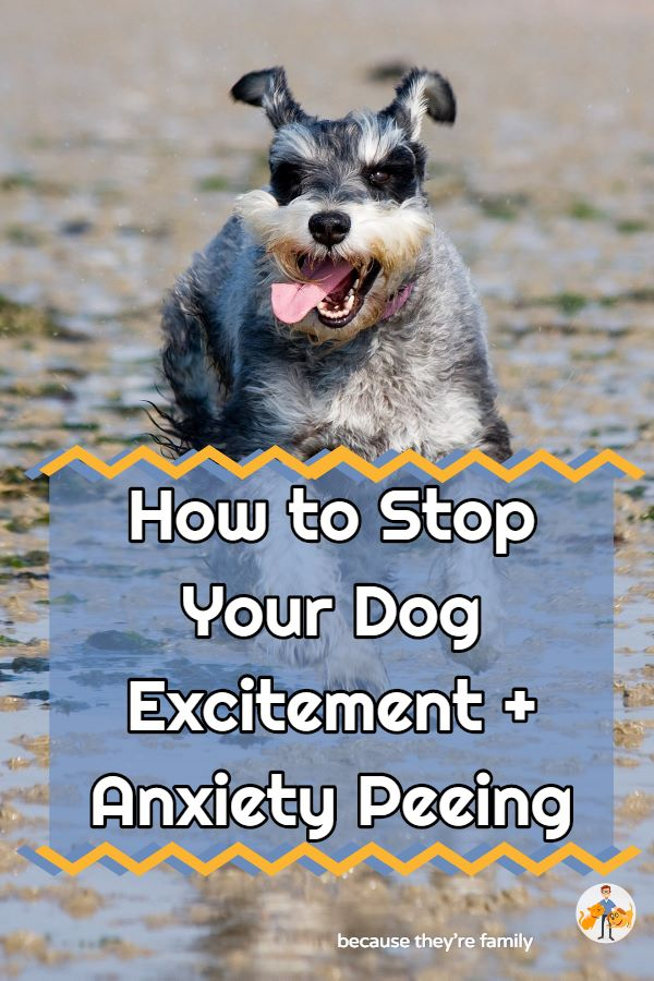 how to stop your dog excitement and anxiety peeing