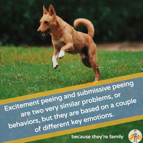 excitement peeing and submissive peeing are two very similar problems but they are based on a couple of different key emotions