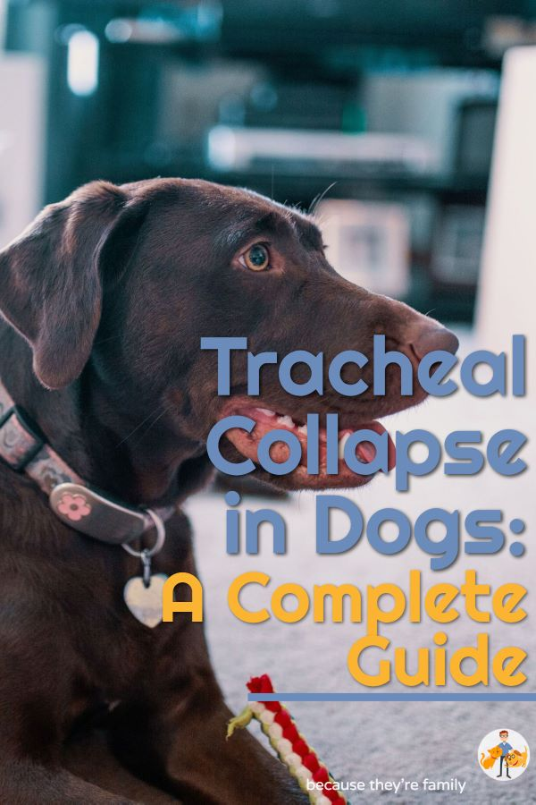 coughing dogs and tracheal collapse